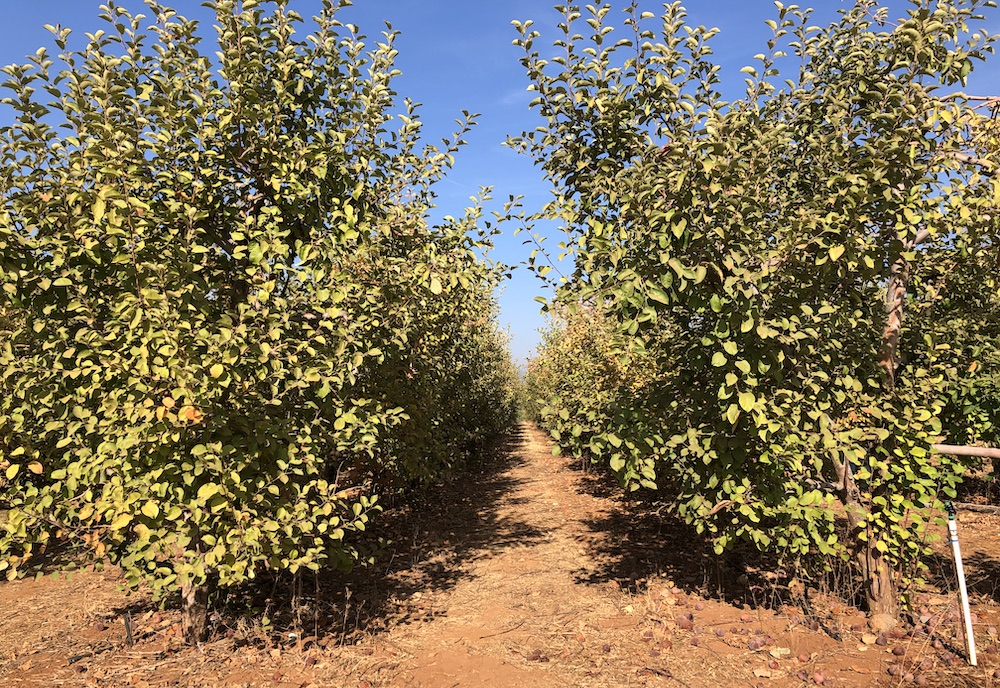 Apple trees at Apple Hill